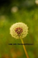 Dandilion ~ Micro Photography